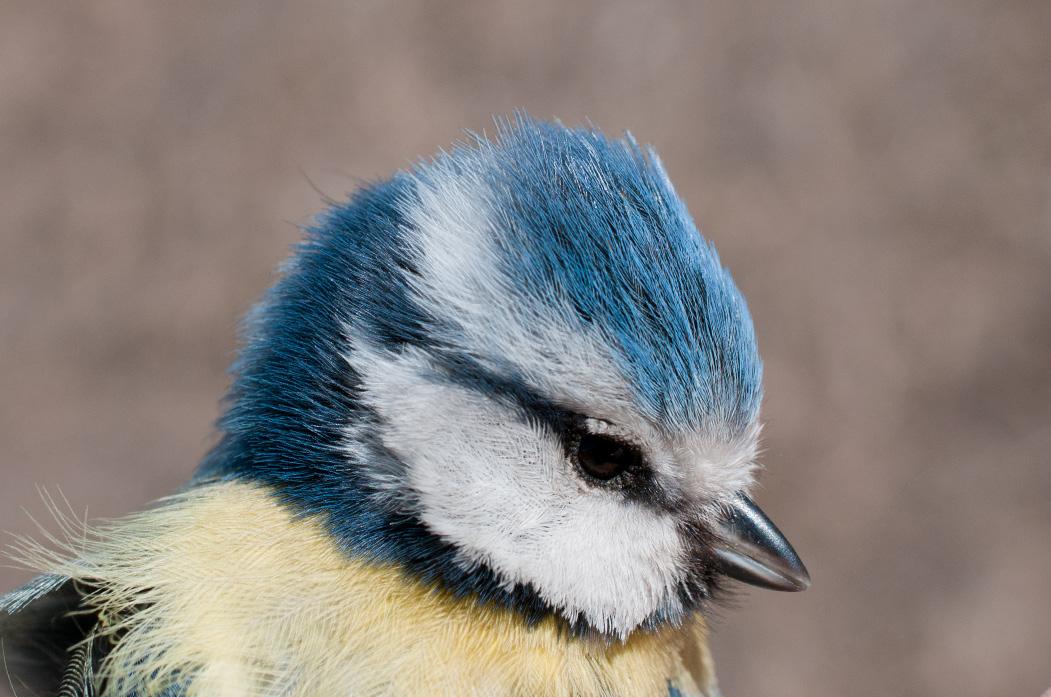 Eurasian Blue Tit - Cyanistes caeruleus - RingBase.org