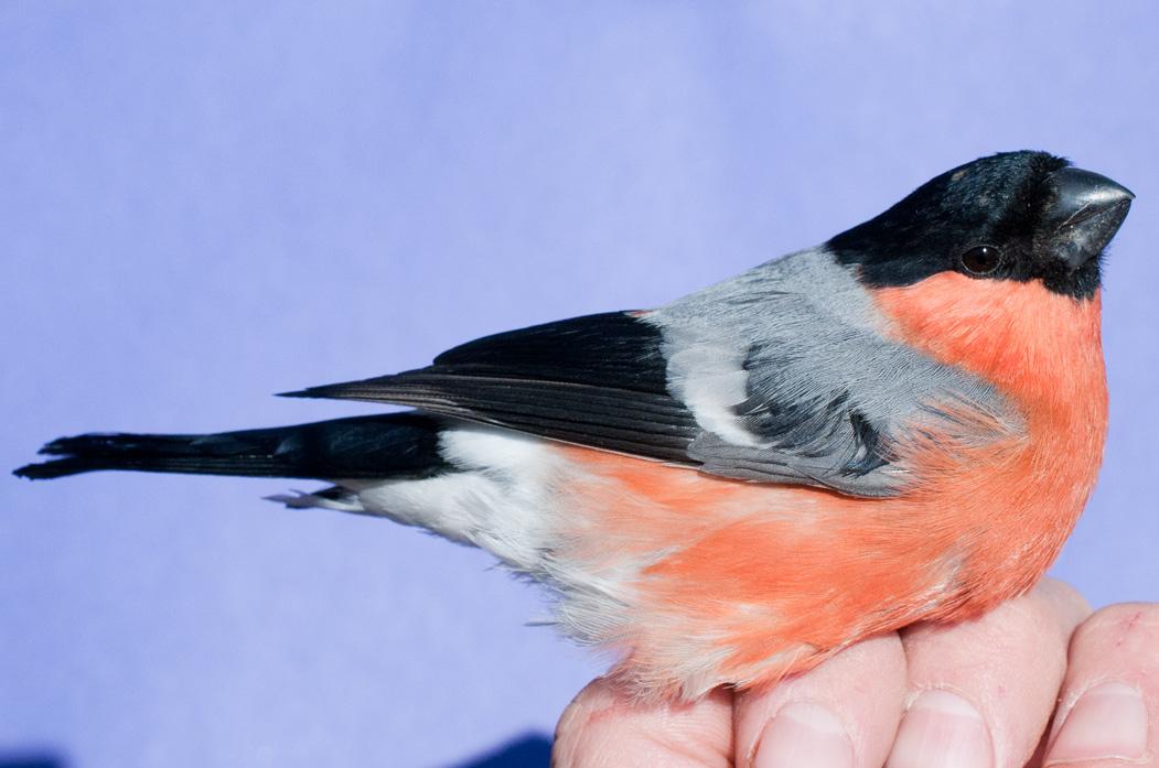 Bird Ringing Codes